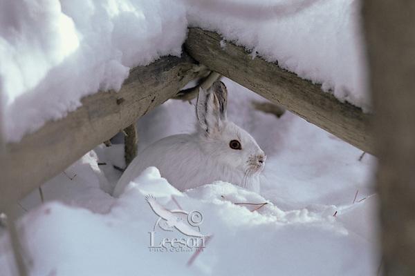 Snowshoe hare hiding/resting beneath fallen trees in northern forest on B.C.-Yukon border, winter.