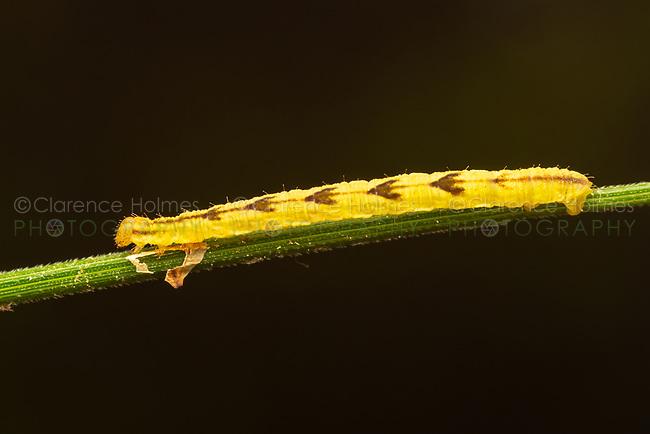 Geometrid Moth Caterpillar (Eupithecia sp.) on a Bur Reed Sedge stem.