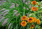 Vashon Maury Island, WA: Flower blossoms of Rudbeckia 'Cherokee Sunset' and Pennisetum 'Red Head'
