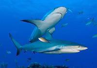 Carribean reef shark, Carcharhinus perezii, in the Bahamas, Atlantic