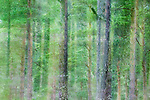 Pine (Pinus sp) forest, Scottish Highlands, Cairngorms National Park, Scotland, United Kingdom