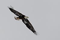 Immature Bald Eagle, Grand Tetons National Park