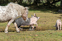 BNPS.co.uk (01202) 558833. <br /> Pic: CorinMesser/BNPS<br /> <br /> Pictured:  A mare chases one of the pigs away from her water hole. <br /> <br /> Hundreds of pigs have been let loose in the ancient New Forest national park to gobble up fallen acorns which are poisonous to other animals.<br /> <br /> The quirky tradition involves swine roaming the Hampshire woodland to clear it of the fruit which can be fatal to the famous ponies and cattle.<br /> <br /> They will spend 60 days rummaging around the 70,000 acre forest before being rounded up in November.