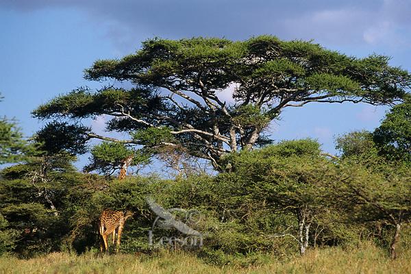 Masai Giraffe (Giraffa camelopardalis), East Africa.  Feeding on acacia tree leaves & branches.