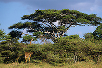 Masai Giraffe (Giraffa camelopardalis), East Africa.  Feeding on acacia tree leaves & branches.