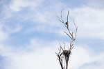 Escondido, California; a female bald eagle perched on the branch of a dead tree above her nest with two eaglets inside which are nearly large enough to fledge