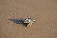 Kemp's ridley sea turtle (Lepidochelys kempii), baby turtle, South Padre Island, South Texas, USA