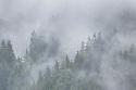 Pine forest enveloped in cloud, Nordtirol, Austrian Alps, June.