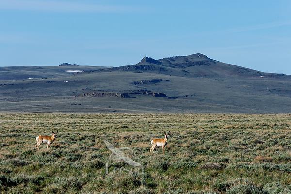 Pronghorn Antelope at Hart Mountain National Antelope Refuge, Oregon.  Early May.