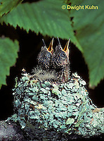 HU10-120x  Ruby-throated Hummingbird - young at nest -  Archilochus colubris