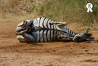 Burchell's zebra (Equus burchelli) lying on side, scratching back (Licence this image exclusively with Getty: http://www.gettyimages.com/detail/200503583-001 )