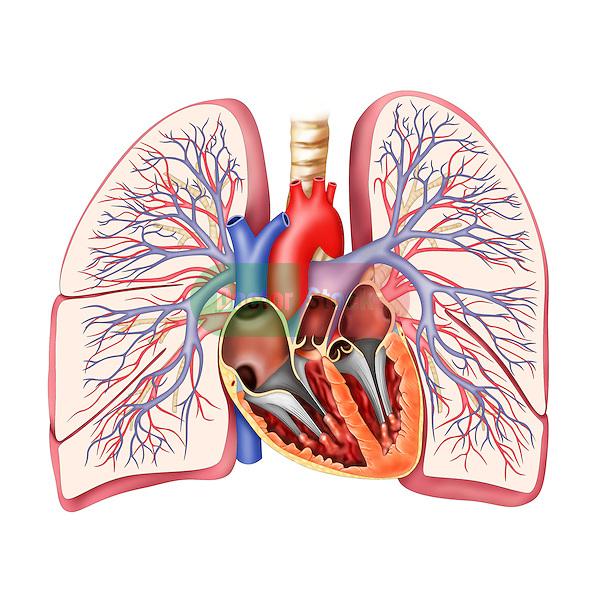 lungs vasculature
