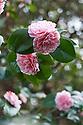 Red-, white- and pink-striped double Camellia japonica 'Lavinia Maggi' (syn. Contessa Lavinia Maggi'), late March.