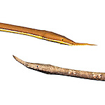 Male (top) and female (bottom) Spear-nosed Snake (Langaha madagascariensis) from the rainforest regions of eastern Madagascar. (digitally altered image)