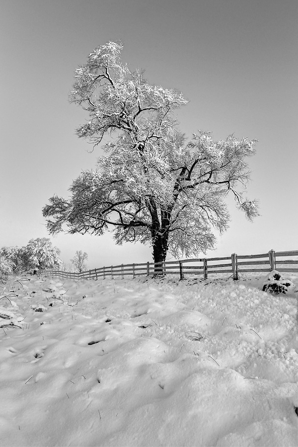 A snow covered tree in illuminated by morning light on Old Ivy Road in Charlottesville, VA. Photo/Andrew Shurtleff