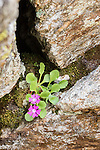 Mountain Primrose (Primula villosa) growing in rock crevice on high mountian ridge. Nordtirol, Austrian Alps, Austria, July.