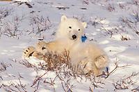 polar bear, Ursus maritimus, relaxing in the snow, Churchill, Manitoba, Canada, Arctic, polar bear, Ursus maritimus