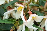 Begonia (Million Kisses) 'Elegance' white flowers
