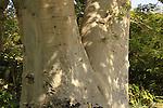 T-144 Baobab tree in Kibbutz Ein Gedi
