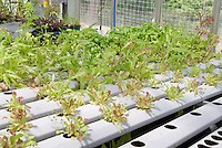 Hydroponic growing of vegetables salad greens lettuce and herbs basil in greenhouse in scientific rows without soil