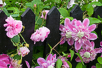 Clematis Josephine aka Evijohil, with pink roses climbing black picket fence, pink double flowered vine perennial