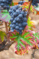 Bunches of ripe grapes. Domaine Philippe Livera, Gevrey Chambertin, Cote de Nuits, d'Or, Burgundy, France