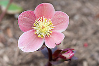 Helleborus Pink Frost hellebore flowers Gold Collection perennial that blooms in winter and early spring