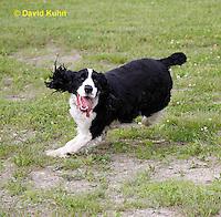 0808-0814  English Springer Spaniel Running, Canis lupus familiaris © David Kuhn/Dwight Kuhn Photography.