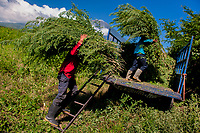 Salvadoran farm workers load piles of indigo plants onto a truck in the field near San Miguel, El Salvador, 12 November 2016. For centuries, indigo, a natural deep blue dye extracted from the leaves of tropical plants (Indigofera), has been known to the native indigenous inhabitants of Central America who used the blue tincture to color their fabrics and pottery. Although demand for natural indigo dropped significantly at the end of 19th century when a synthetic indigo was firstly introduced, commercialization of natural indigo has risen again during the last decades. Small-scale indigo farms, processing the crop on sustainable and ecological basis, are growing throughout the country, returning El Salvador to the place of the main natural indigo producer in Latin America.