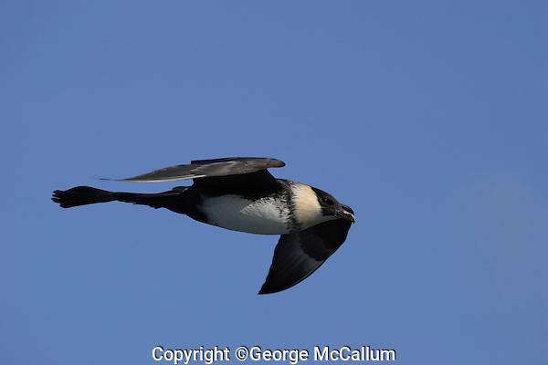 Bird Pomarine skua Stercorarius pomarinus gliding over sea Bear Island Arctic Norway Barents sea.