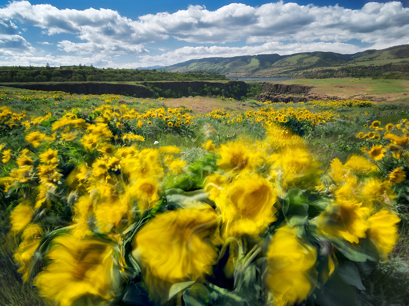 Balsamroot wildflowers in the wind. Tom McCall Park. Columbia River Gorge National Scenic Area. Oregon