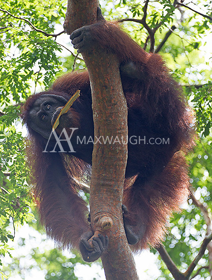 I was fortunate to see six wild orangutans during my visit to the Borneo Rainforest Lodge.  It's one of the most difficult subjects I've ever tried to photograph.