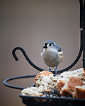 Tufted Titmouse. Image taken with a Nikon D5 camera and 600 mm f/4 VR lens (ISO 900, 600 mm, f/4, 1/1250 sec)