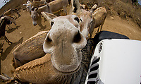 Donkey at Donkey Sanctuary Bonaire, Bonaire, Netherland Antilles, Caribbean Sea, Atlantic Ocean (cr)