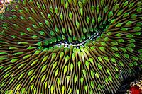The unique Mushroom Coral (Fungia scutaria).  Hawaiian name is Ako ako a kohe.