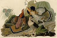 Ruffed Grouse, Birds of America by John James Audubon. 1827-38