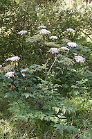 Arznei-Engelwurz, Echte Engelwurz, Arznei - Engelwurz, Angelica archangelica, Archangel, Garden Angelica