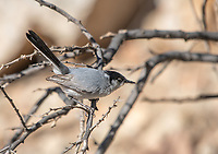 Male Black-tailed Gnatcatcher, Polioptila melanura, at the Arizona-Sonora Desert Museum, near Tucson, Arizona