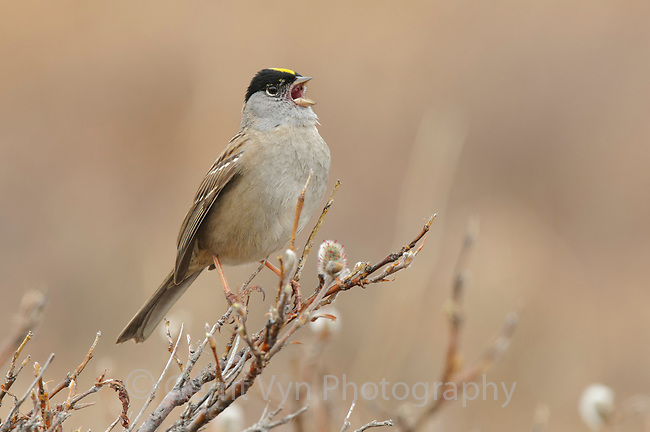 Adult Golden-crowned Sparrow (Zonotrichia atricapilla) singing in spring. Seward Peninsula, Alaska. May.