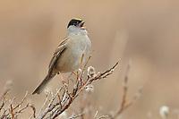 Adult Golden-crowned Sparrow (Zonotrichia atricapilla) singing in spring. Seward Peninsula, Alaska. May.