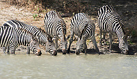 Grant's Zebras, Equus quagga boehmi, drink from a pond in Tarangire National Park, Tanzania
