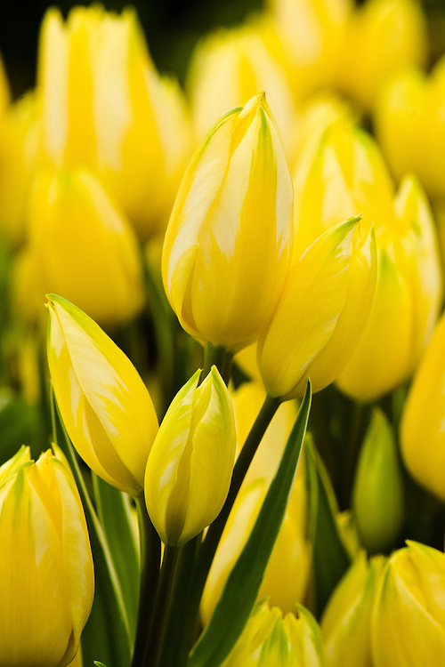 """Tulip 'Antoinette', a multi-headed or multi-flowering """"chameleon"""" variety that changes from yellow to pink and finishes salmon-orange."""