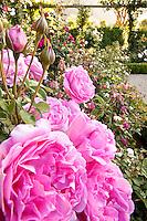 Pink flowering David Austin (English) rose in California rose garden.