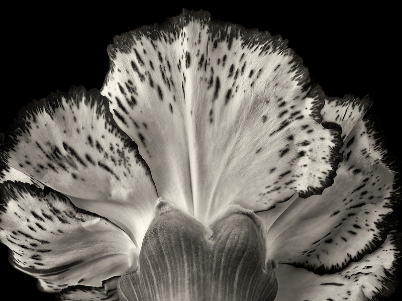 Close up of carnation flower.