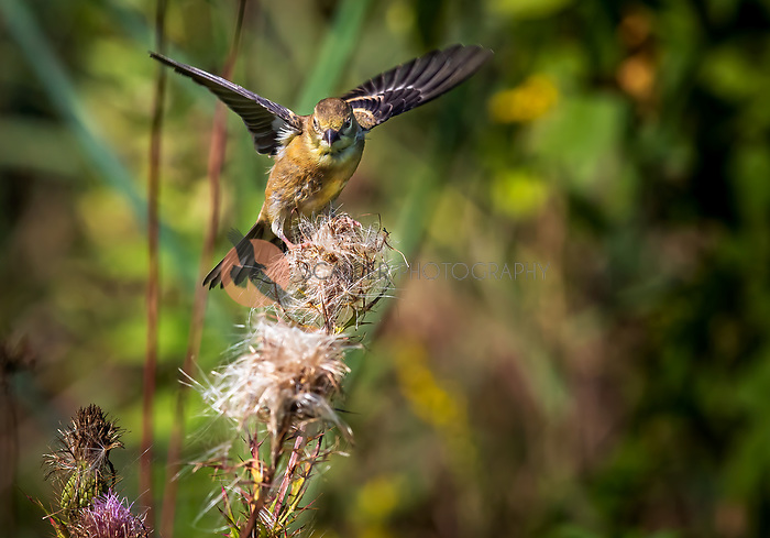 Female Lesser Goldfinch landing on thistle plant with wings out