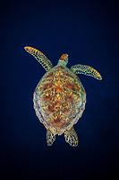 Green Sea Turtle, Chelonia mydas, Baa Atoll, Indian Ocean, Maldives