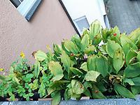 links: Walderdbeere, rechts; Maiglöckchen<br /> Europe, Germany, Ruhr Area, Wetter<br /> <br /> Europa, Deutschland, Ruhrgebiet, Wetter<br /> <br /> [MODEL RELEASE: NO, Copyright: Vera Schimetzek, Bornstrasse 5, 58300 Wetter, Germany, phone: 0049.2335.970650, mobil: 0049.151.21220918, www.schimetzek-foto.de, schimetzek@web.de,<br /> Die Verwendung des Fotos ist honorarpflichtig. Keine Verwendung ohne Genehmigung.  Es gelten die AGB.<br /> For use the general terms and conditions are mandatory. No use without permission. The use of the image is subject to a fee.]