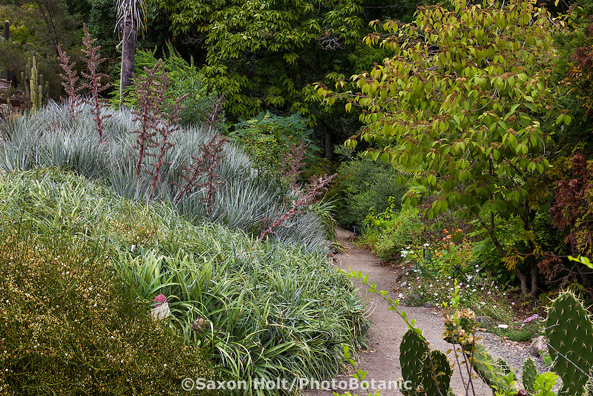Path through New World Desert Garden with drought tolerant groundcovers, University of California Botanical Garden