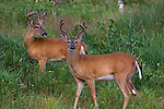 Two white-tailed bucks (Odocoileus virginianus) with antlers in velvet.  Summer.  Winter, WI.