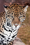 jaguar sitting on large boulder, medium shot vertical